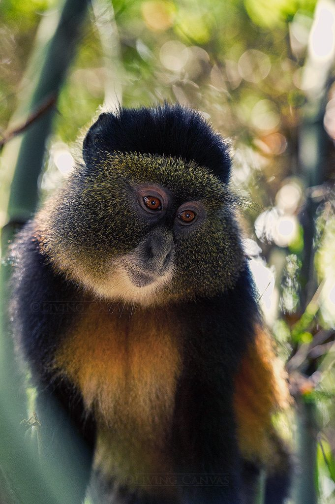 A photograph of a Golden Monkey in the wilderness.